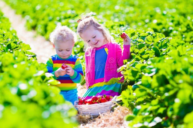 Ungar som väljer den nya jordgubben på en lantgård fotografering för bildbyråer