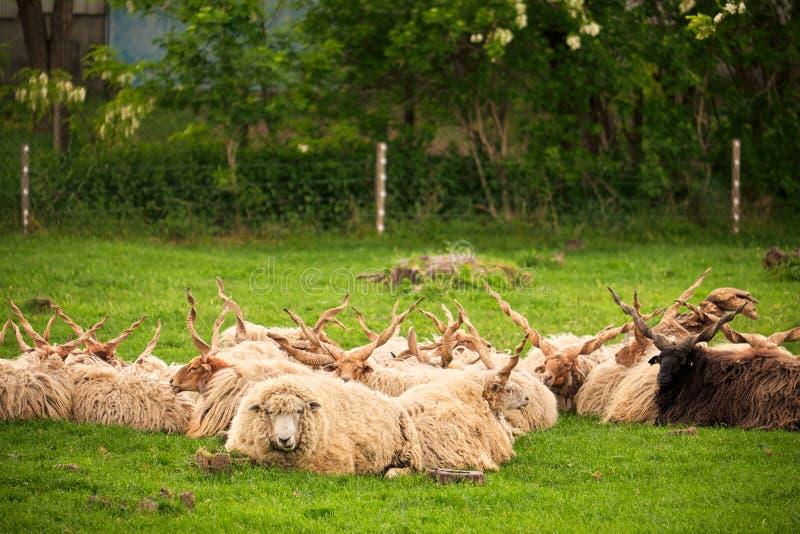 Ungarische racka Schafe lizenzfreie stockfotos