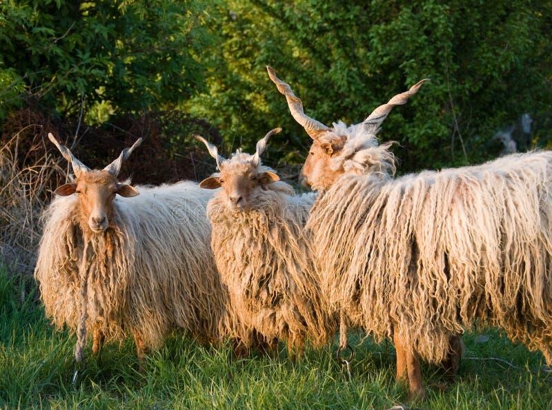 Ungarische Schafe stockbilder