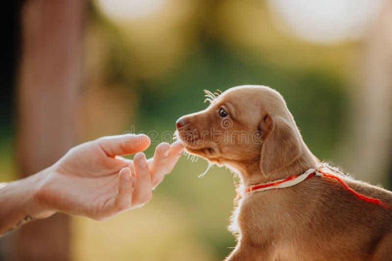 ungarischer Zeigehund des netten Welpen der Handnote, vizsla Aufenthalt auf Gras Abstrakte Abbildung lizenzfreie stockbilder
