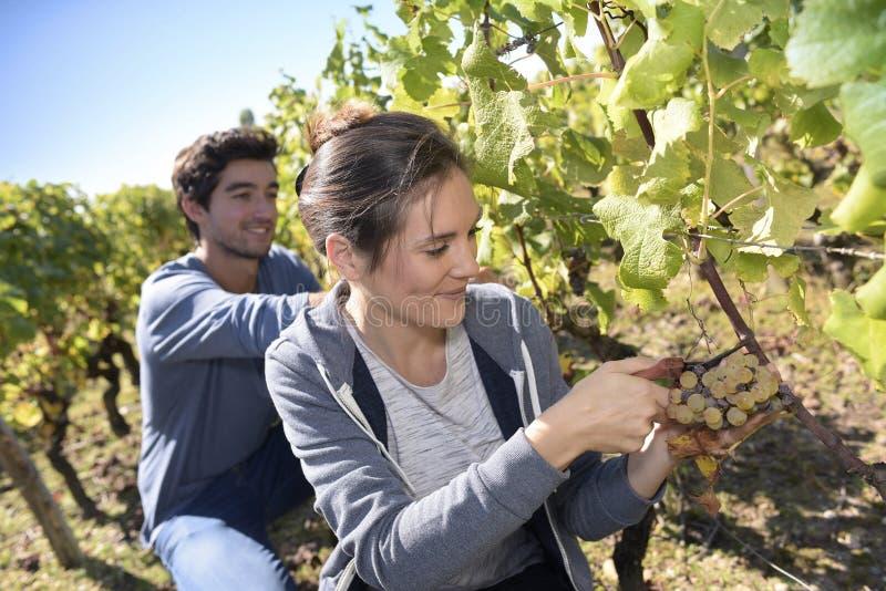 Ungdomarsom upp väljer druvor royaltyfria foton