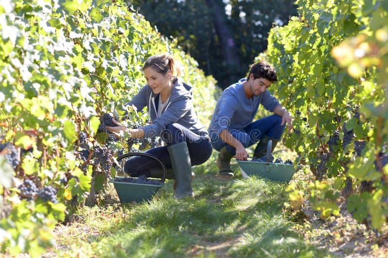 Ungdomarsom upp väljer druvor i vingård arkivbild