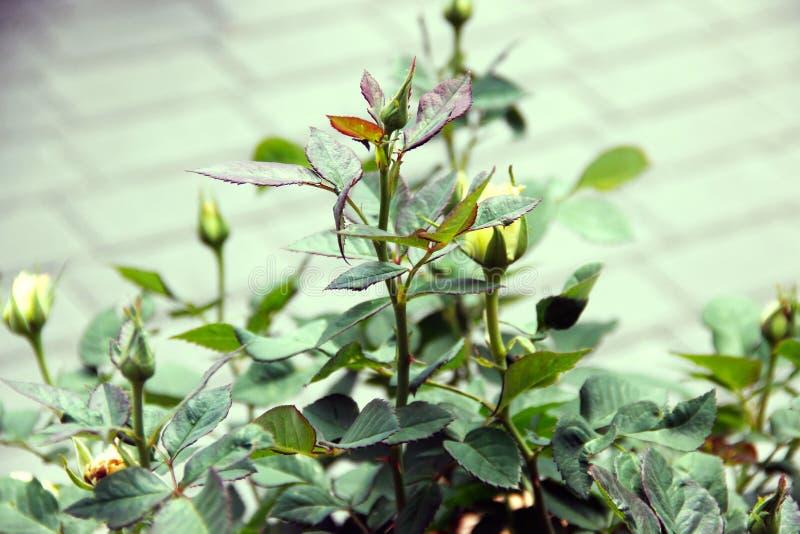 Ungeöffneter Rosebud auf Bush stockfotos