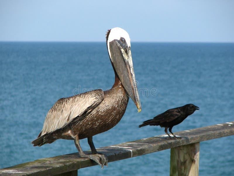 Ungerade Freunde, Pelikan und schwarzer Vogel. lizenzfreies stockbild