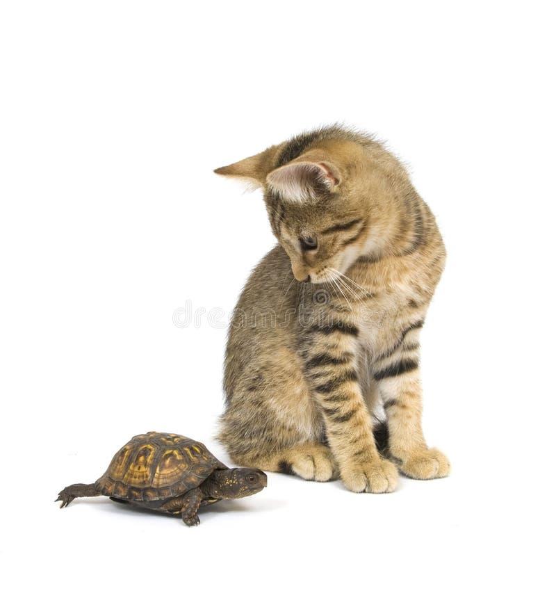 Ungerade Paare - Kätzchen und Schildkröte lizenzfreie stockfotografie