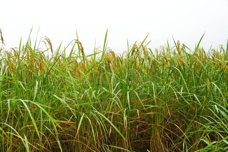 Ungesch?lter Reis auf dem Gebiet stockfoto