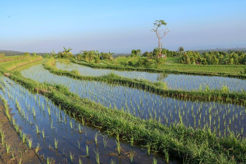 Ungesch?lter Reis auf dem Gebiet Reisterrassen mit Wasser und kleinen grünen Reissämlingen Gr?nes Feld der Reispflanze mit Wasser lizenzfreie stockbilder