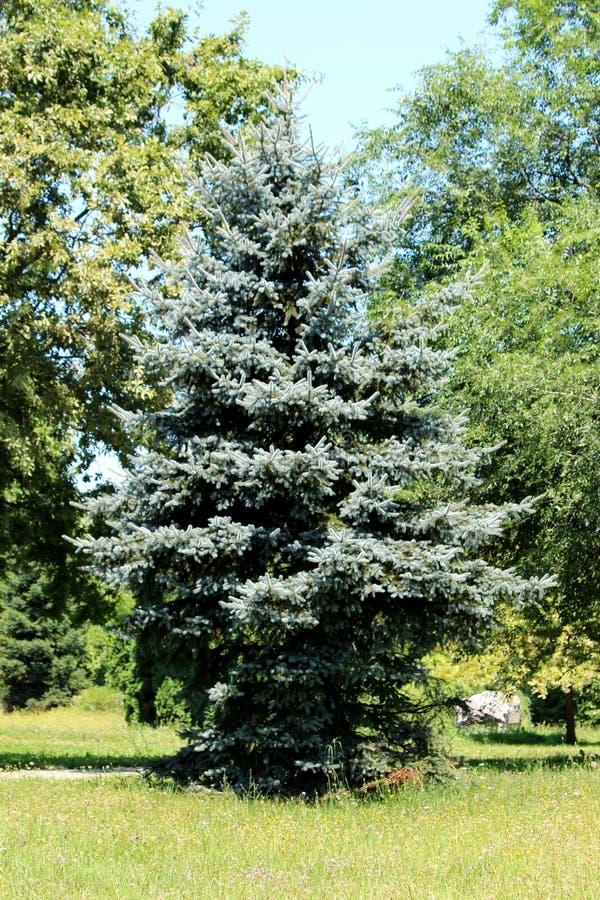 Ungewöhnlich geformter, silbergrüngrüner Pinienbaum mit dichten Ästen, die in einem öffentlichen Park mit anderen Bäumen und Gras stockfotografie