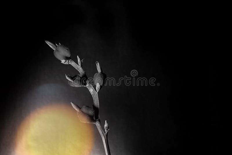 Ungewöhnliche Blume auf schwarzem Hintergrund mit Fleck einfarbig stockbilder