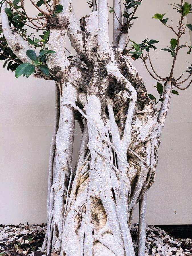 Ungewöhnliche verdrehte Niederlassung des Baumstammes stockbilder