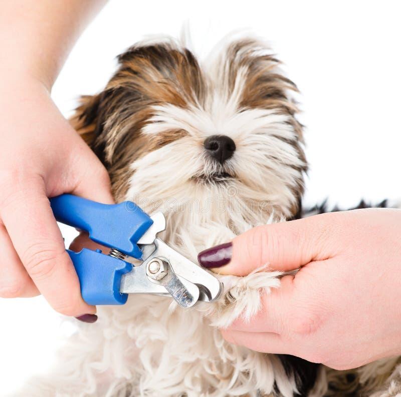 Unghie del piede del cane di taglio del veterinario su fondo bianco fotografia stock libera da diritti