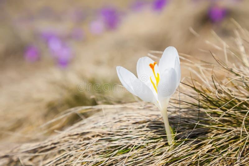 Unglaublich schöner Albinoweißkrokus lizenzfreie stockfotografie