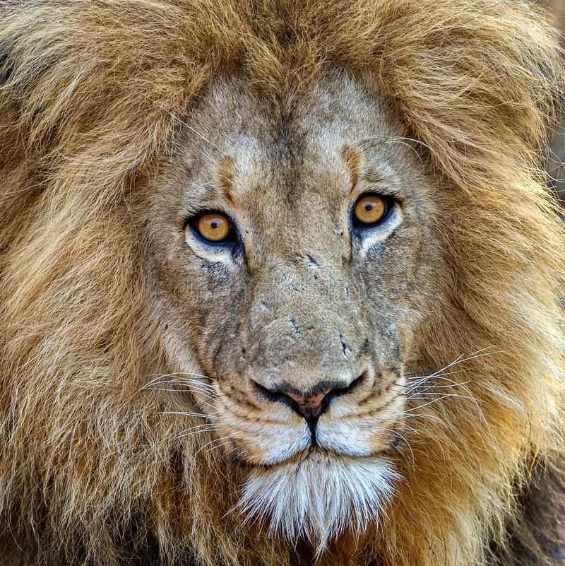 Unglaublicher Löwe stockbilder