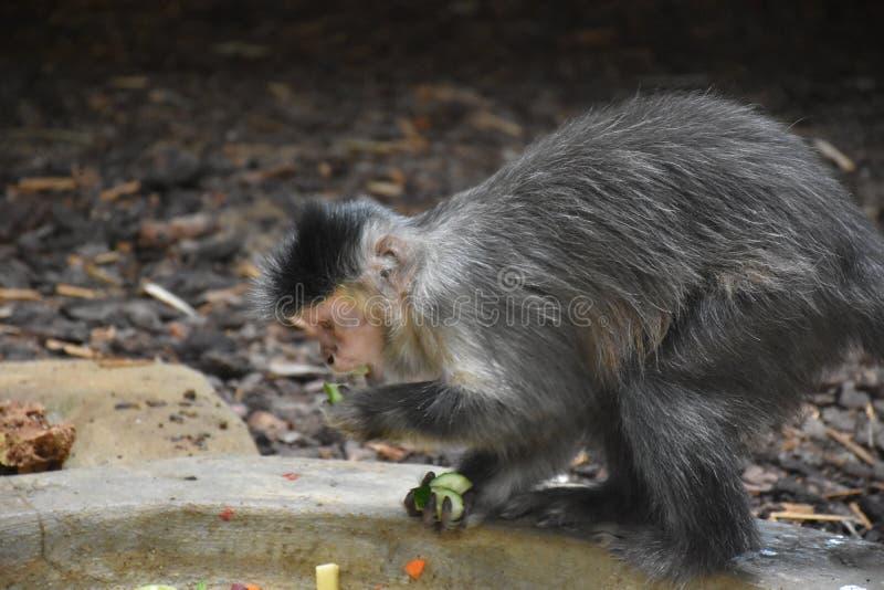 Ungry-Kapuzineraffe speist auf einer Niederlassung Wildes Tier lizenzfreie stockfotos