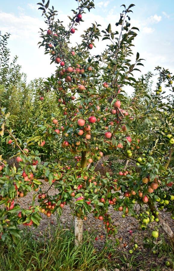 Ungt äppleträd med äpplen arkivfoton