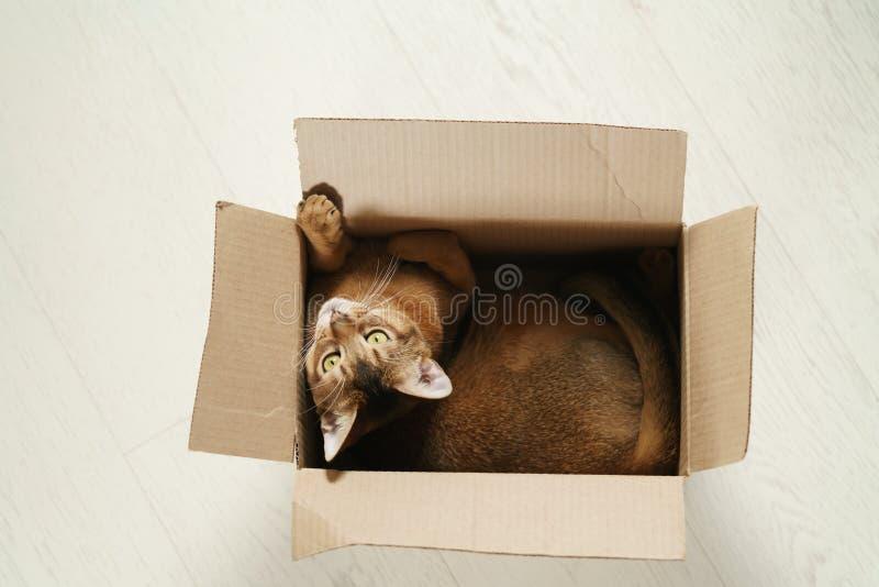 Ungt abyssinian kattsammanträde i kartong på golvet fotografering för bildbyråer