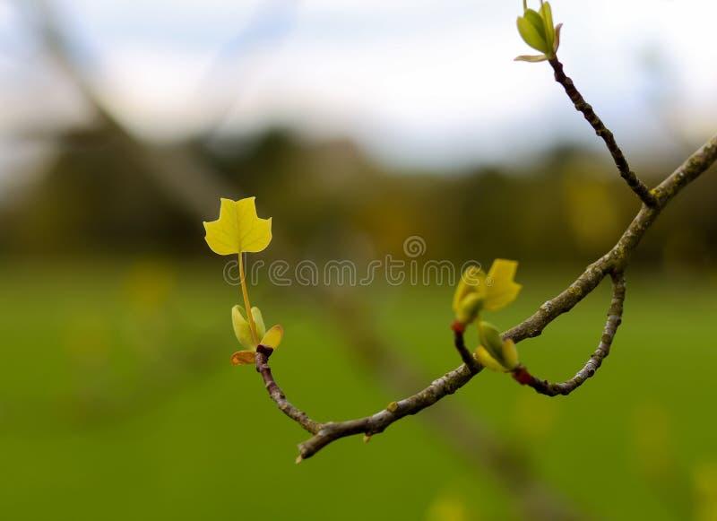 Ungt blad av amerikanen Tulip Tree på en filial royaltyfri bild