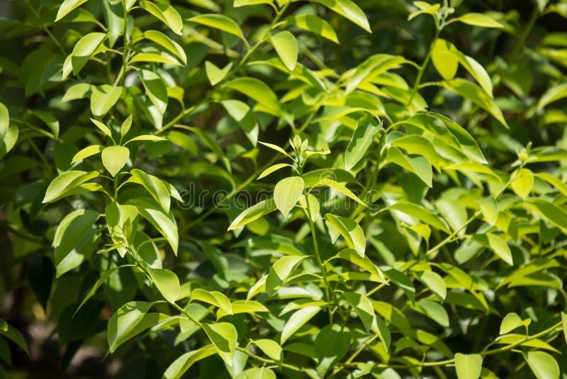 Ungt blad av Cinnamomumcamphoraträdet arkivfoton