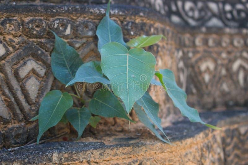 Ungt bodhiträd på väggen, Thailand arkivfoton