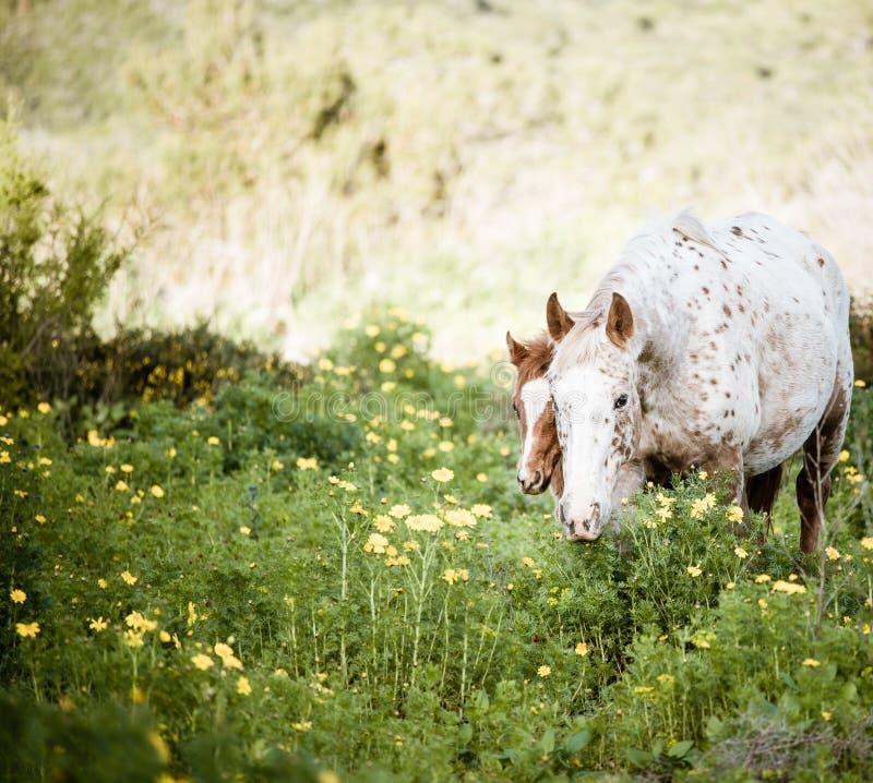 Ungt föl och vit häst, i att blomma ängen royaltyfria foton