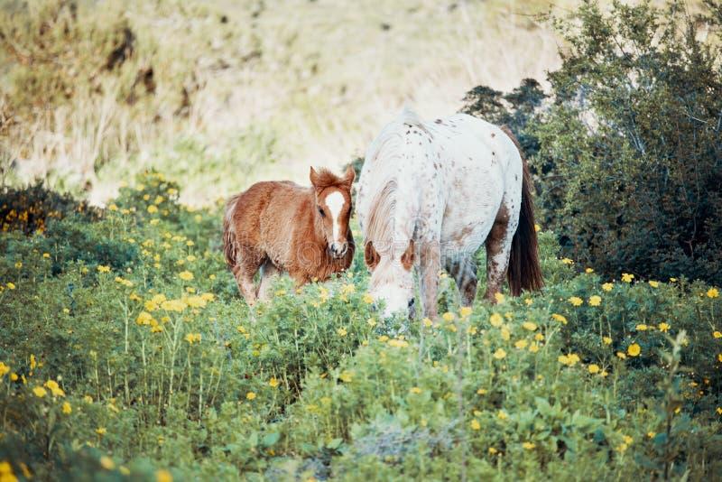 Ungt föl och vit häst som stirrar, i att blomma ängen royaltyfri foto