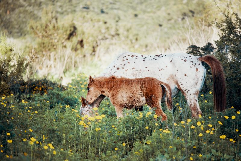 Ungt föl som går med den vita hästen royaltyfri bild