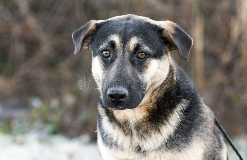 Ungt för avelhund för tysk herde blandat foto för adoption royaltyfri bild