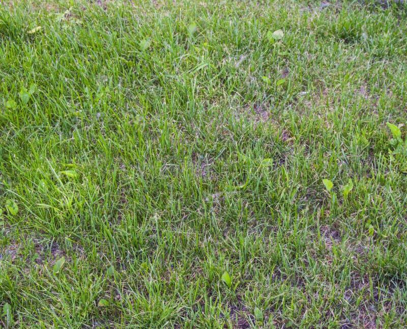 Ungt grönt gräs spirade på gräsmattan i tidig vår ojämnt fotografering för bildbyråer