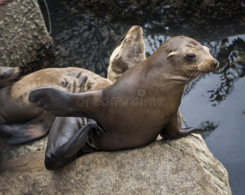 Ungt hav Lion Scratches med den tillbaka flippern i Monterey, Kalifornien arkivbild