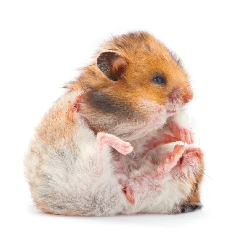 Ungt leka för hamster royaltyfria foton