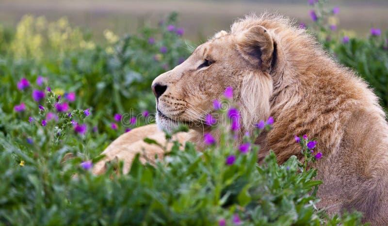 Ungt manligt lejon arkivbilder