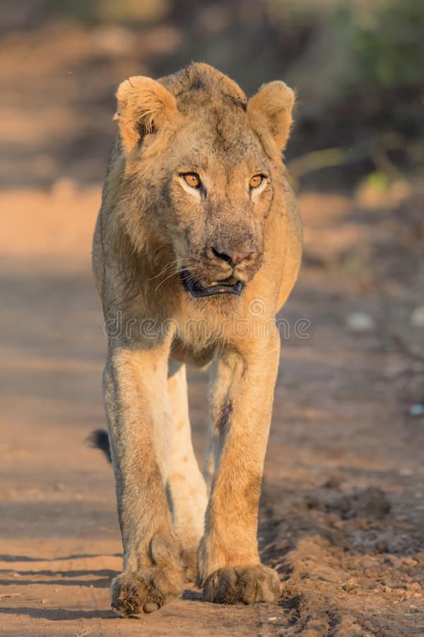 Ungt manligt lejon i den Kruger nationalparken royaltyfri foto