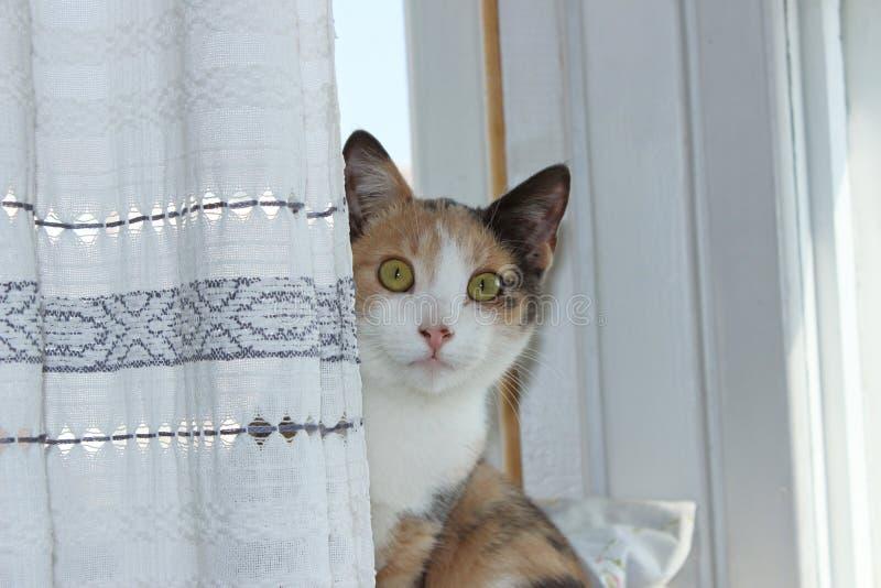 ungt Masyanya för Tre-färg katthem sammanträde på en fönsterbräda royaltyfria foton