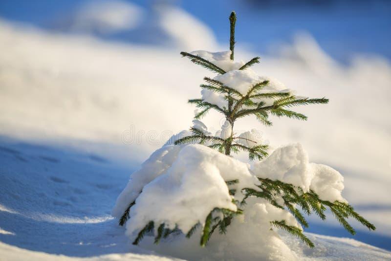 Ungt mjukt prydligt träd med gröna visare som täckas med djup snö och rimfrost på ljus för kopieringsutrymme för blå himmel färgr arkivfoton