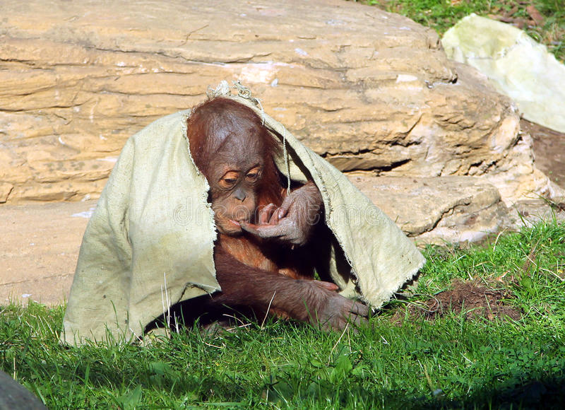 Ungt nederlag för abelii för Sumatran orangutangPongo under en torkduk royaltyfri foto