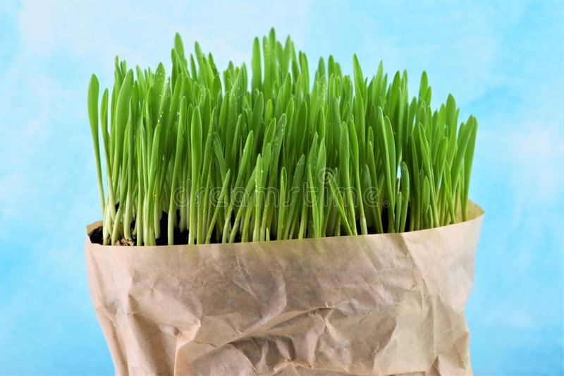 Ungt nytt grönt gräs i pappers- påse arkivfoton