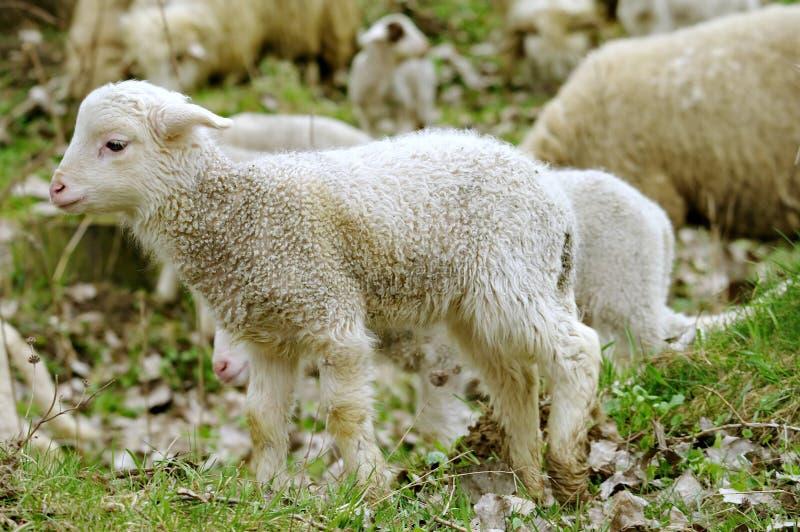 Ungt och gulligt lamm i förgrund som omges av får royaltyfri bild