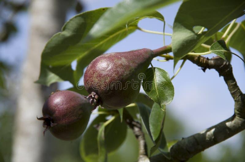 Ungt päron på träd royaltyfria foton
