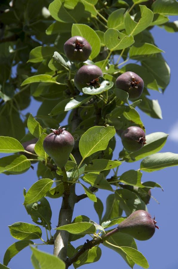 Ungt päron på träd royaltyfria bilder
