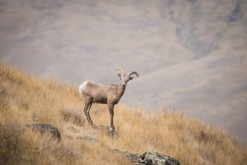 Ungt RAM för Bighornfår på vaggar arkivfoton