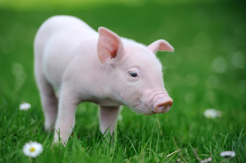 Ungt svin i gräs royaltyfria foton