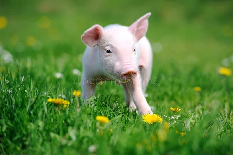 Ungt svin i gräs royaltyfria bilder