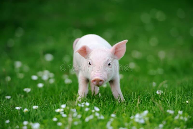 Ungt svin i gräs fotografering för bildbyråer