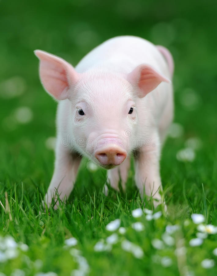 Ungt svin i gräs arkivfoto