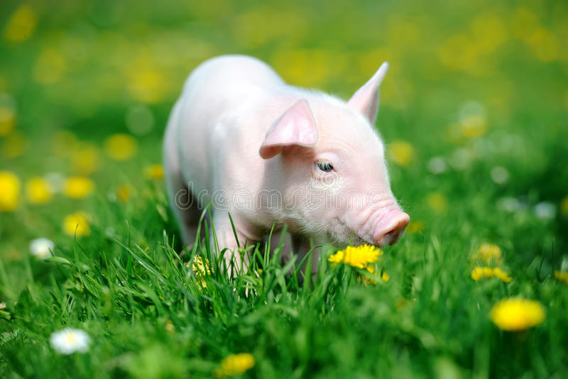 Ungt svin i gräs arkivfoton