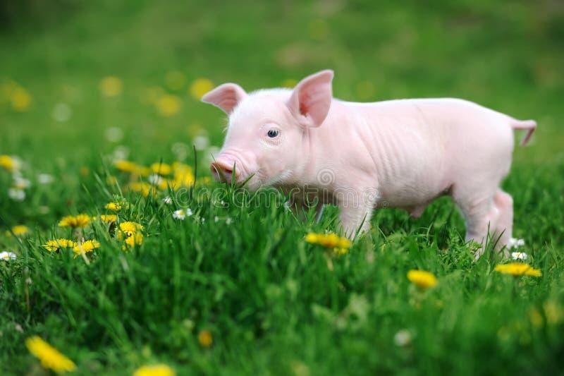 Ungt svin i gräs royaltyfri foto