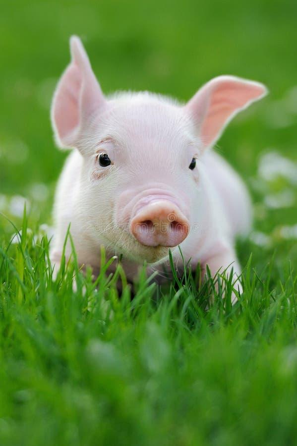 Ungt svin på ett grönt gräs arkivbilder
