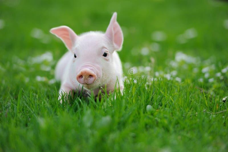 Ungt svin på ett grönt gräs fotografering för bildbyråer