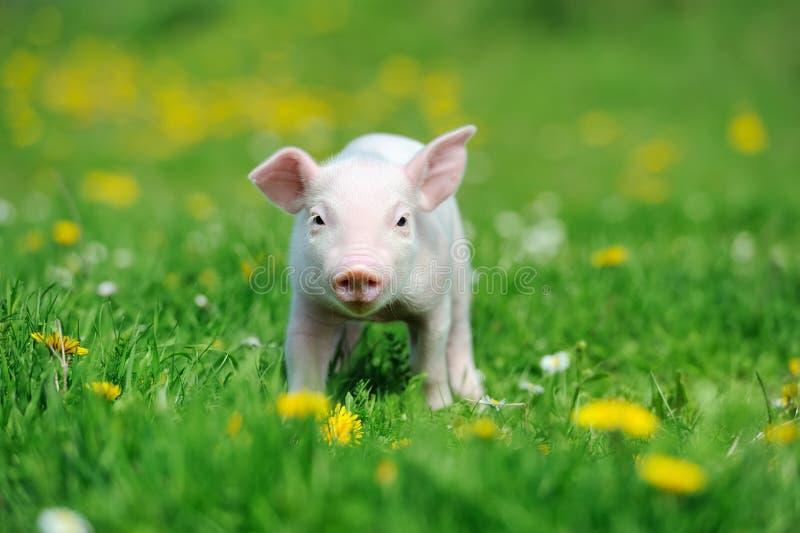 Ungt svin på gräs arkivbilder