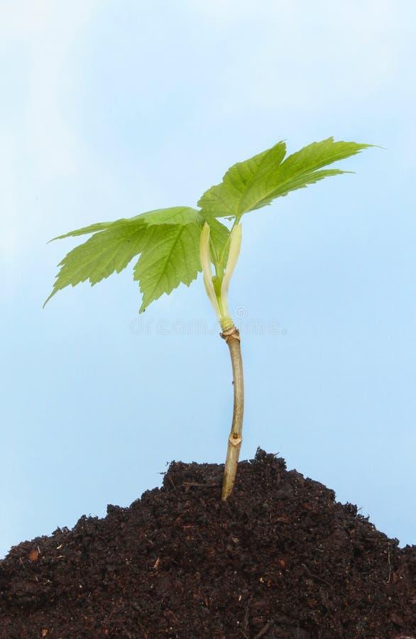Ungt trädträd royaltyfri bild